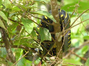 Yellow cat snake
